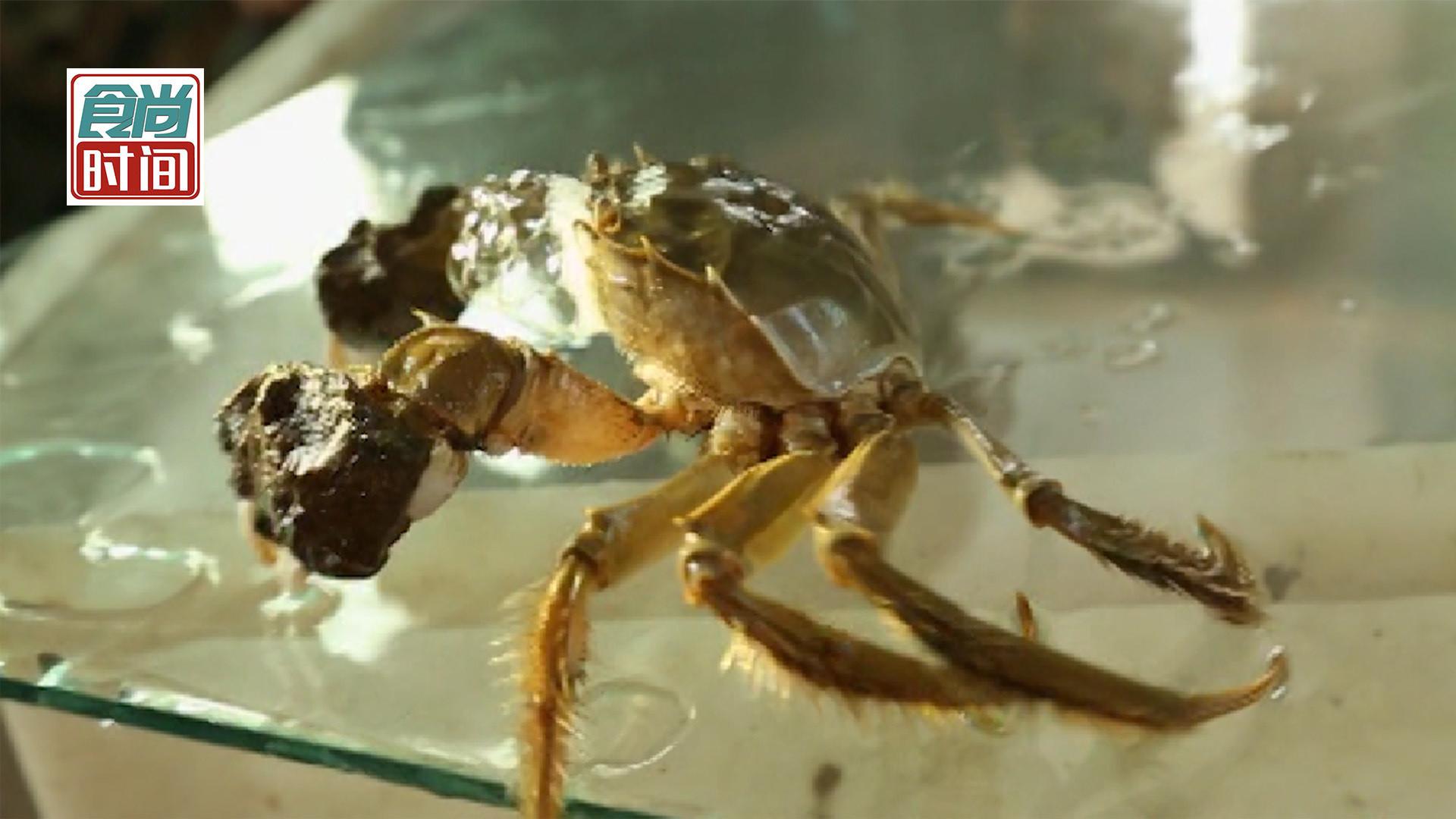 秋风起 蟹脚痒!手把手教你如何挑选成熟肥美的大闸蟹