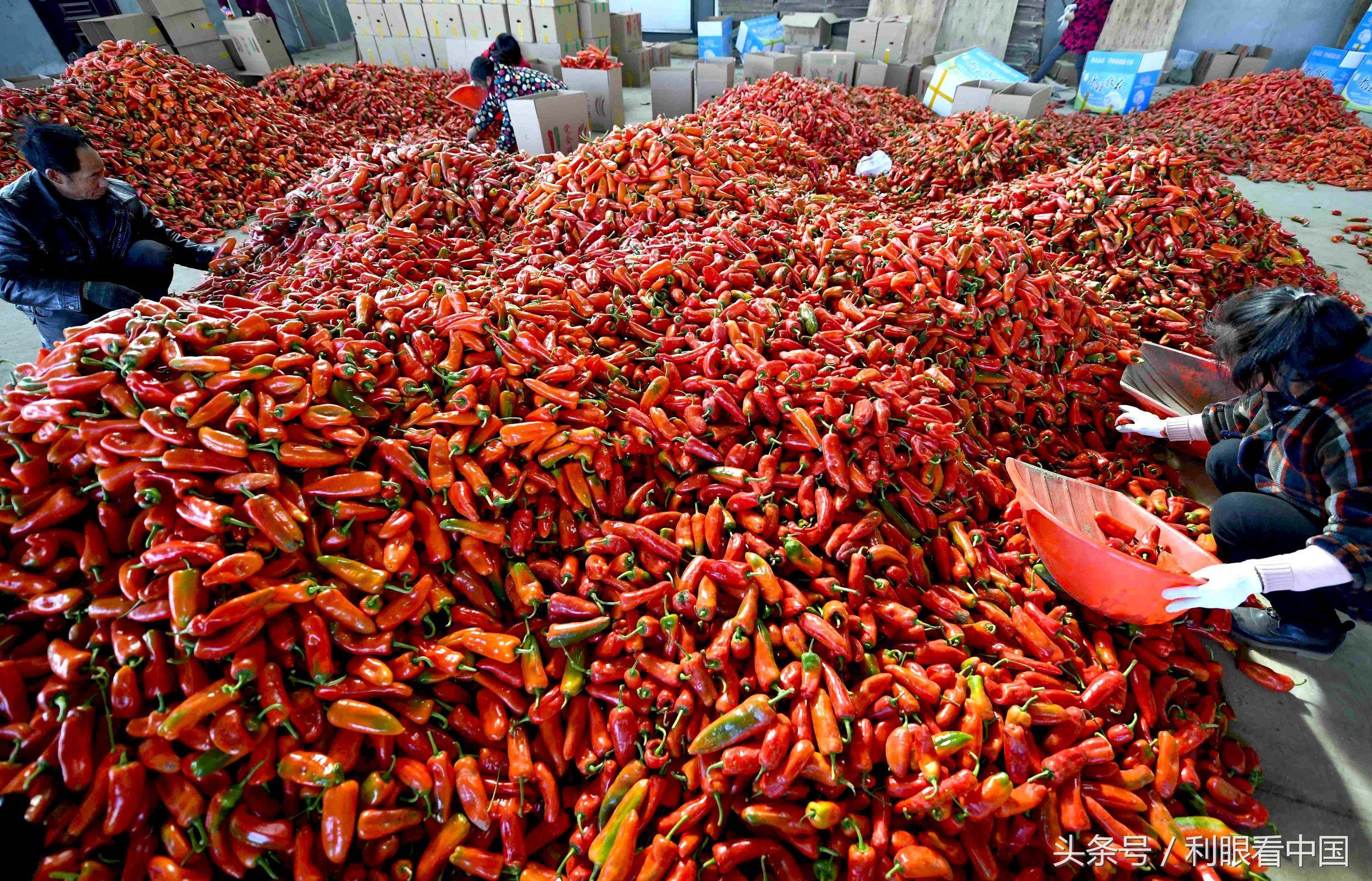 11月23日,在安徽省阜阳市阜南县会龙镇皖西北蔬菜交易大市场里,农民在