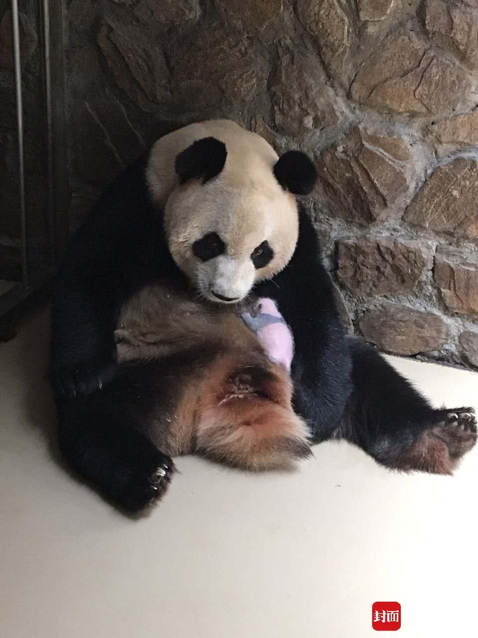 """大熊猫""""芝芝""""首次当妈 对双胞胎幼崽竟各种嫌弃"""