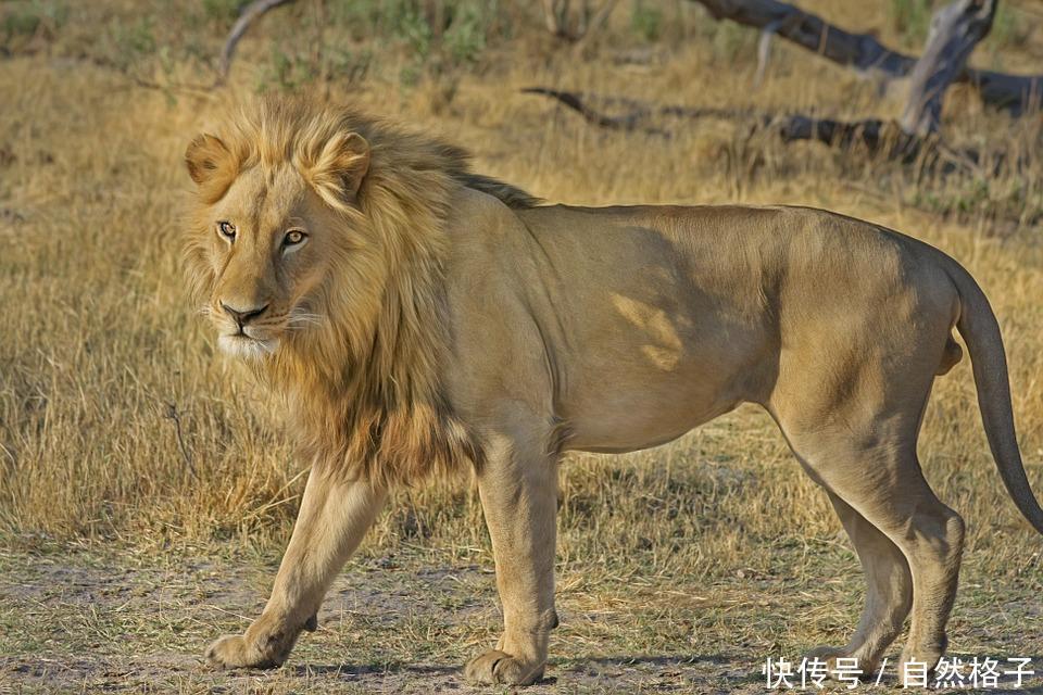 最容易混淆的猫科动物分类:狮子属于猫科,猎豹和云豹不属于豹属