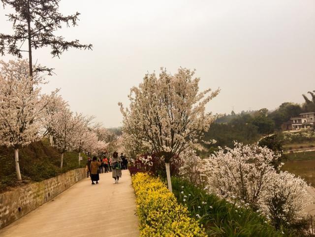 泸州樱花谷的樱花开啦,满树浪漫,如云似霞!