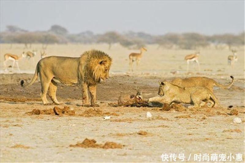 雄狮捕抓到羚羊后,急忙叫来幼崽,知道原因后觉得羚羊真惨