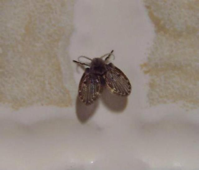 厕所里的双翅膀小黑虫是啥东东?用杀虫剂都杀不死
