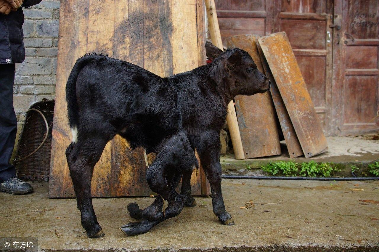 6条腿2个屁股的小牛见过吗?重庆奉节一农户家里突降小