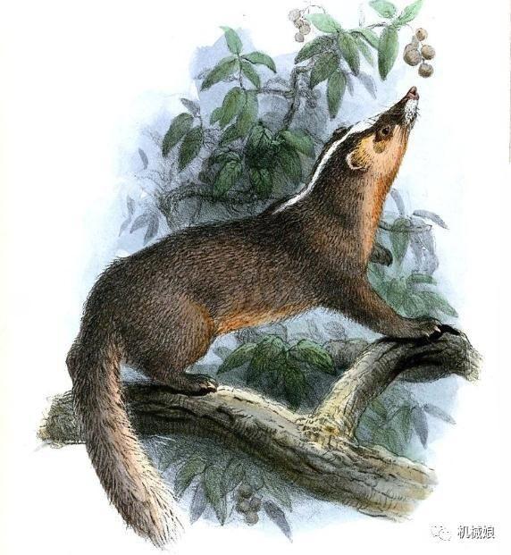 闰土钢叉下的猹到底是什么动物?狗獾和鼬獾?