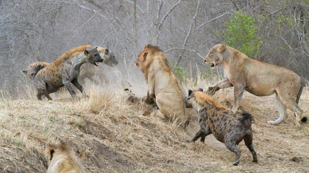 王者狮子,应该是大草原上食物链最顶端的生物了,没有谁能挑战它们草原