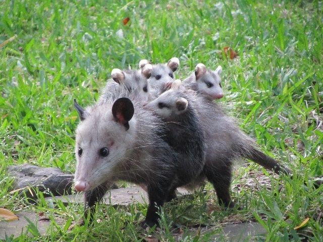 负鼠,是负鼠目,负鼠科动物的通称.