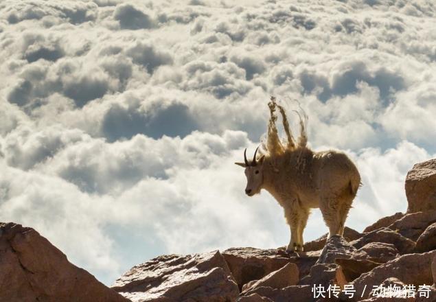 山羊站在最高的山上开始看风景,这样腾云驾雾的感觉看着都太美了!