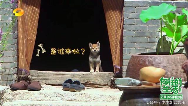 一条作伴的小狗:柴犬小h图片