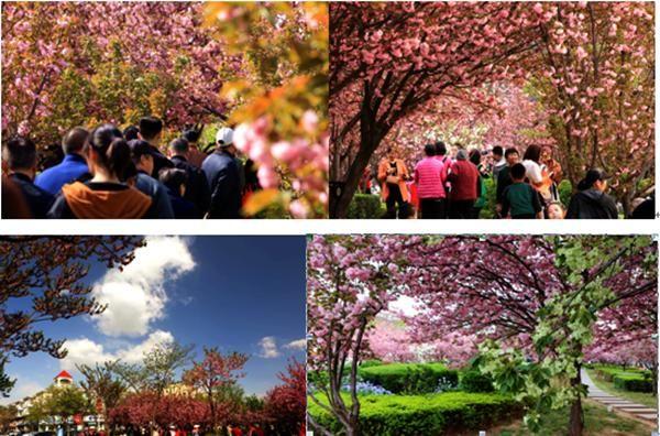 鹤壁市淇滨区防范办樱花节里忙反邪