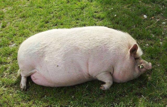 """最""""惹不起""""的生肖猪,元宵后财气实在是太旺了,是你吗?"""