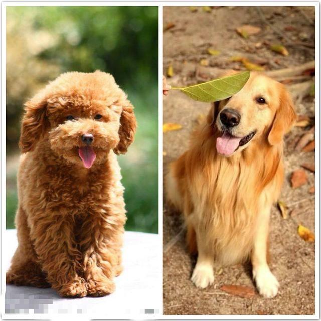 一只是小型犬,一只是中大型犬,究竟是养泰迪好还是养金毛好,今天就来