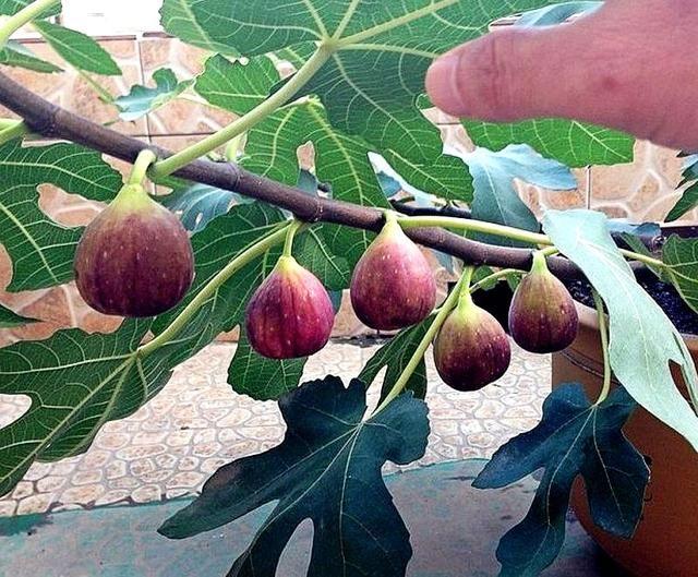 无花果水牛奶_一个枝条种一棵无花果树盆栽,一次结果几十个,10年都有的吃!