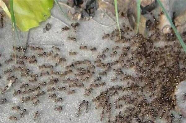 老李头有一个孙子叫小奇,比较调皮,这天看见路上有很多蚂蚁在搬家,而且还有很多蛇在过马路,于是小奇往蚂蚁走的路上吐了一团口水,没想到蚂蚁乱成一团,四处散开了,小奇笑嘻嘻的看着这些迷路的蚂蚁。  蚂蚁有气无处发,正好有一条蛇路过这里,被蚂蚁发现了,于是蚂蚁群拥而上,撕咬这条蛇,蛇拿蚂蚁一点办法都没有,只想逃跑,但是被蚂蚁咬着又痛,一直在地上打滚,越来越多的蚂蚁过去咬那条蛇,没过多久蛇就被咬死了。
