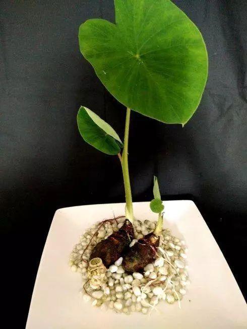 水培土豆生长步骤图