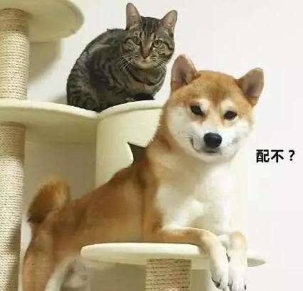 一个把自家猫咪当小媳妇的柴犬,表情贱萌贱萌的,太可爱!
