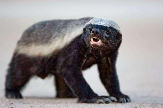 """huān)是地球上最勇敢无畏的一种动物,江湖人称""""平头哥"""",甚至平头哥"""