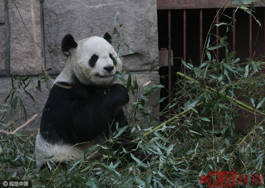 熊猫急了也咬人 盘点动物园伤人事件