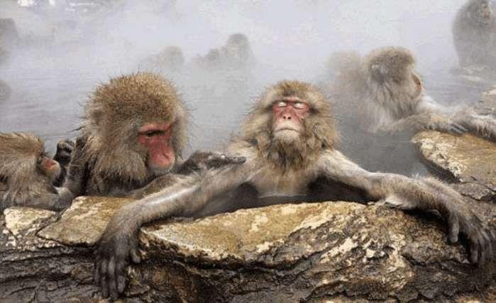 猴子世界里的森严等级制度,高级别的可以泡温泉,低级别的被冻僵