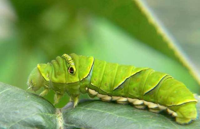 当然还有些虫子比较可爱,被发现后当成了玩具,比如说猪儿虫.