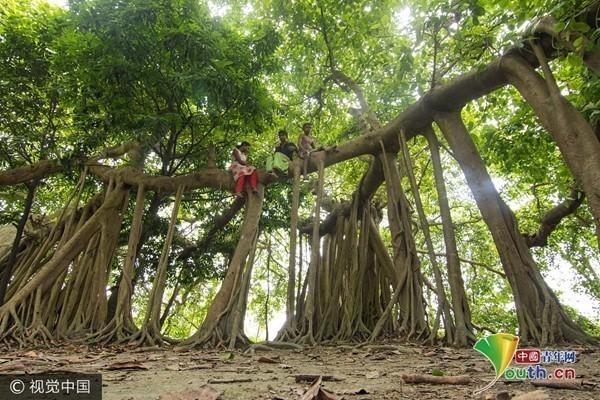 孟加拉国达卡,一棵500岁榕树的树根看起来像许多的树干,创造出一片类似树林的景观。  主树干下边垂直的根从高达30英尺的高度向下延伸。  摄影师Azim Khan Ronnie拍摄到在周围森林中唯一这样一棵独特的树。  生活在附近的人称这棵树看起来像伸展手臂的怪物,是当地孩子们最喜欢玩耍的一个地方。