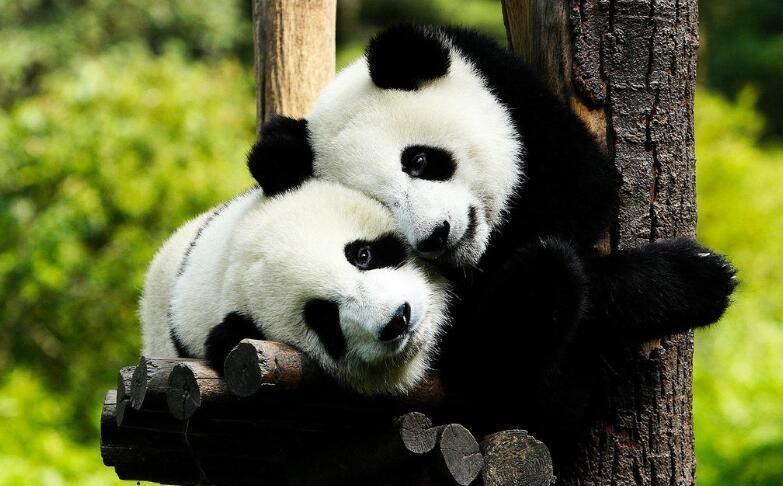 壁纸 大熊猫 动物 783_486