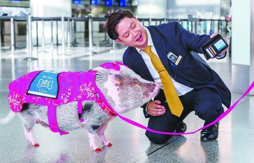 旧金山项目机场新年特别农历:小猪莉萝庆新春高中生撸管次数图片
