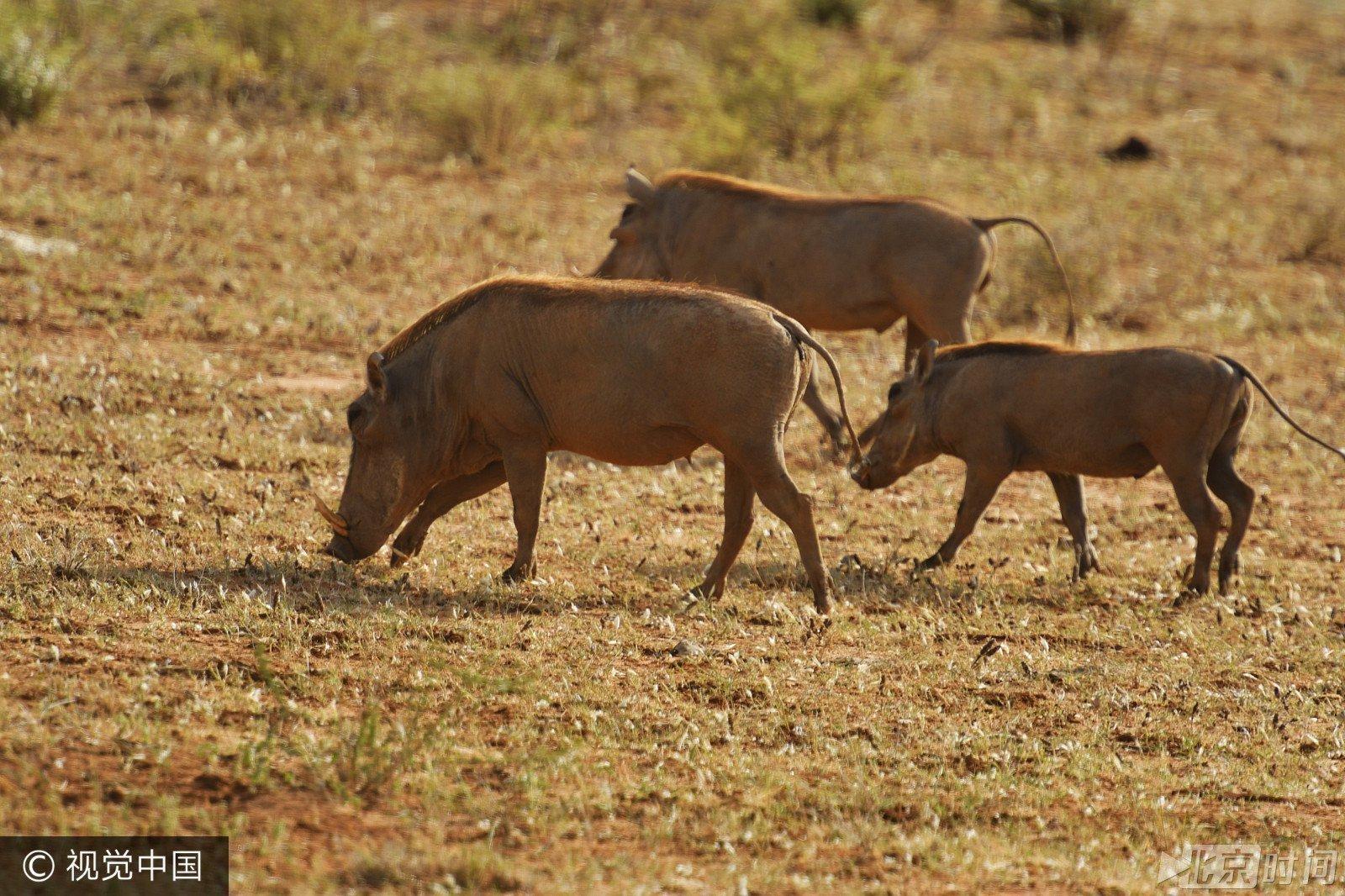 非洲遭遇持续干旱 稀有野生动物面临灭绝危机?