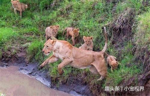操妈屄的小�_小狮子被妈妈逼着学习跳跃,起跳很优美,但是结果有点悲催!