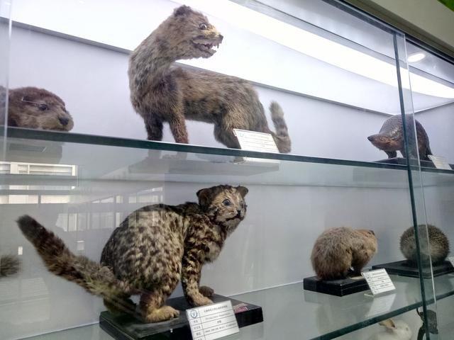 十几种猫科,鼠科等动物标本是最大亮点.