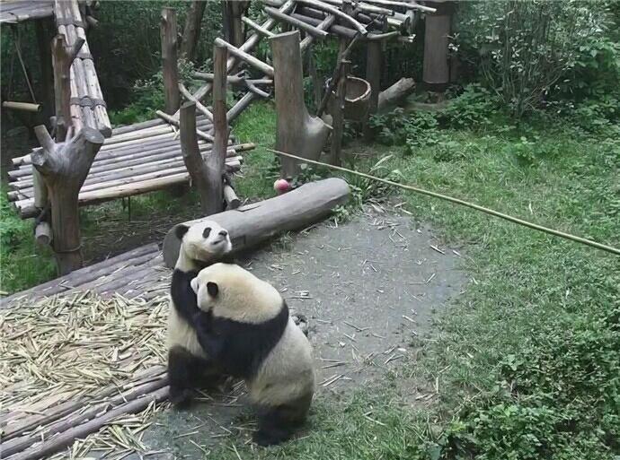 两只大熊猫为抢苹果站起来相互推搡 怀疑是假熊猫!