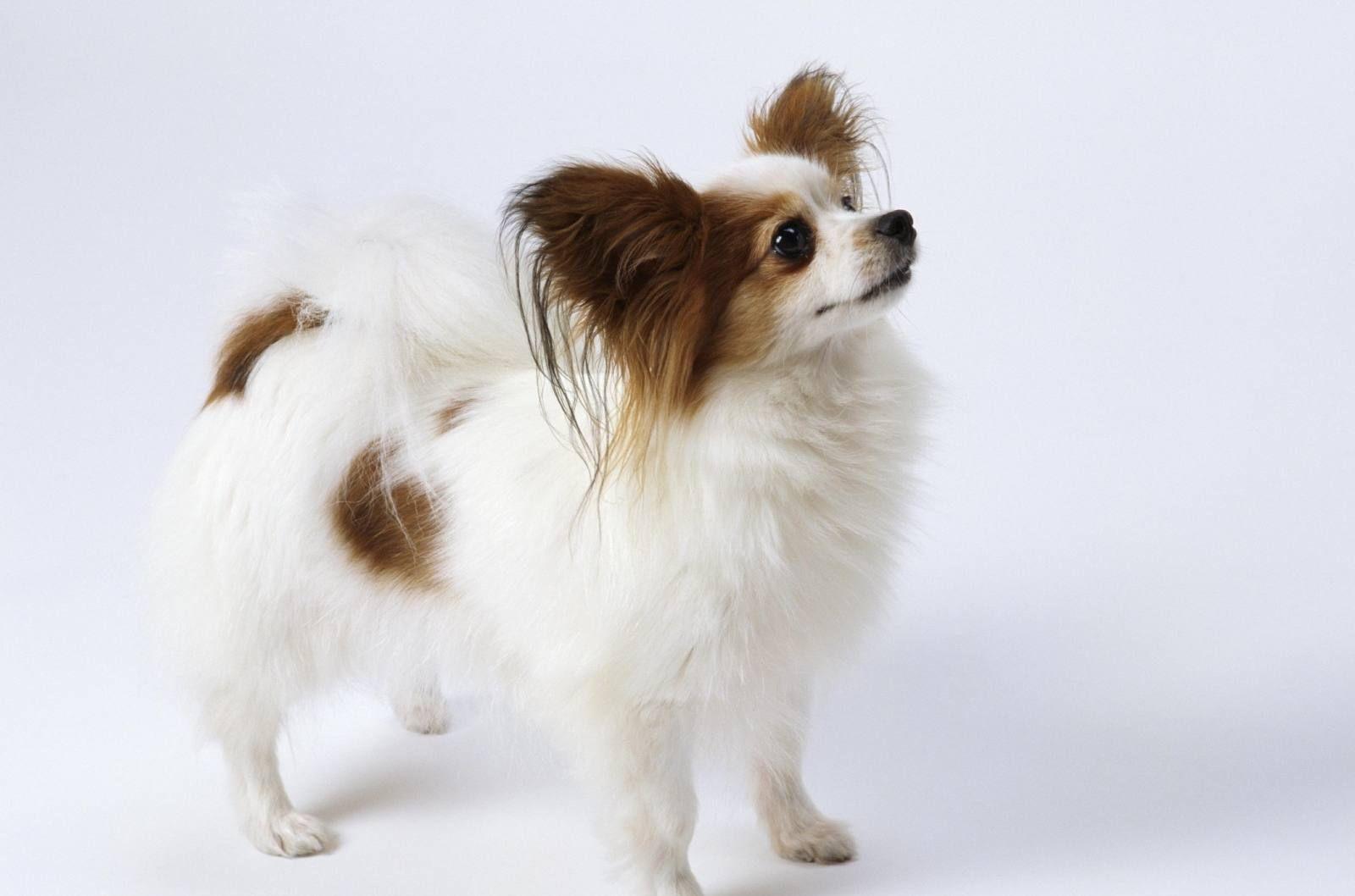 蝴蝶犬_蛾犬和蝴蝶犬的区别_蝴蝶之恋/蝴蝶情人