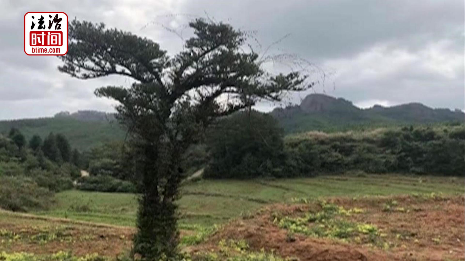 一夜之间百年古树消失不见 贼人居然惦记了16年