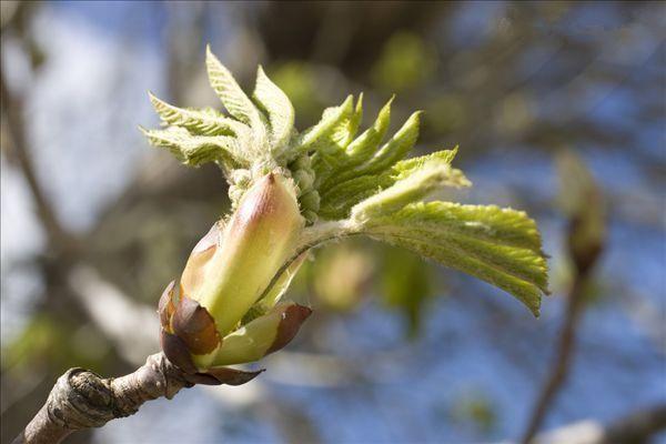今年春天刚种的栗子树,现在叶子这样了,像火烤的一样