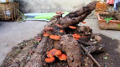 村民捡到老树根想做根雕,几天后竟发芽长出灵芝