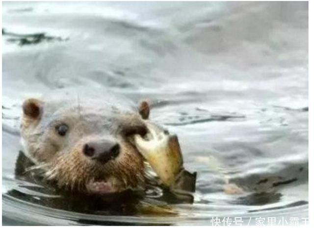 """大家心中的水獭还是对疯狂动物城里的""""闪电""""印象最为深刻了吧!"""