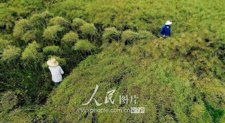 6.2018年5月13日,安徽庐江县柯坦镇农户正在田地里收割油菜.