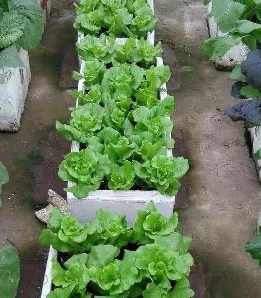 这也是用泡沫箱种的生菜,泡沫箱保温,保湿,保肥,而且便宜易得,用来
