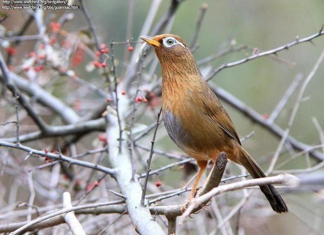 画眉鸟啄脚怎么治疗_梦见被鸟啄_画眉鸟的叫声与鸟性