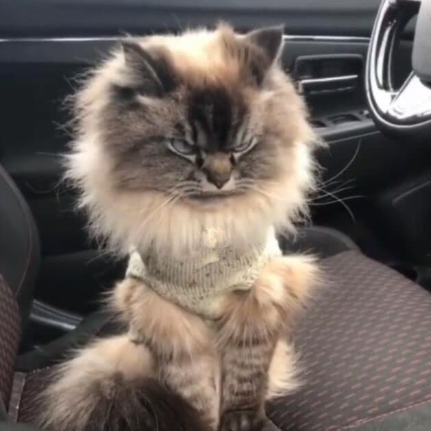 猫咪毛发霸气,眼神犀利,谁看到都害怕!