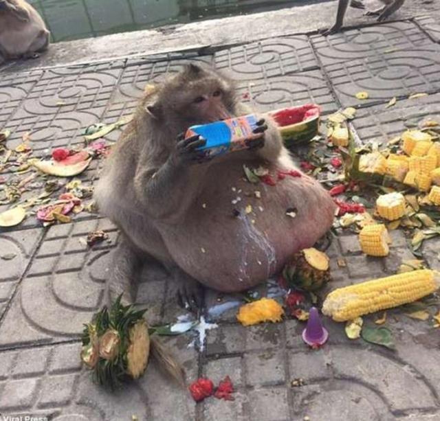 动物园成垃圾堆,游客疯狂扔吃的,猴子从大师兄吃成了二师弟