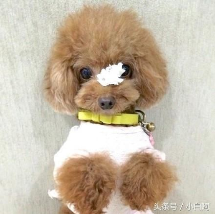 世界上最萌的小可爱泰迪!看完想抱走系列