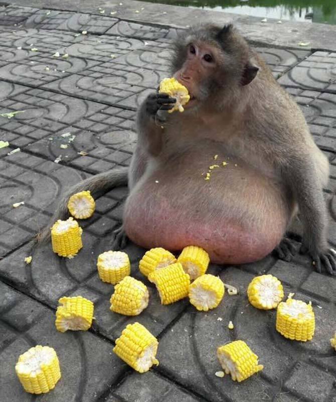 a猴子猴子被锻炼减肥营进行燃烧和流汗一脸脂肪运动后节食是送到无奈图片