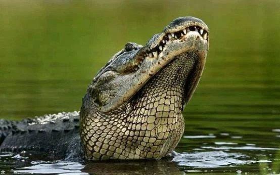 一只鳄鱼突然浮出了水面,看起来表情好像还是很痛苦的样子图片