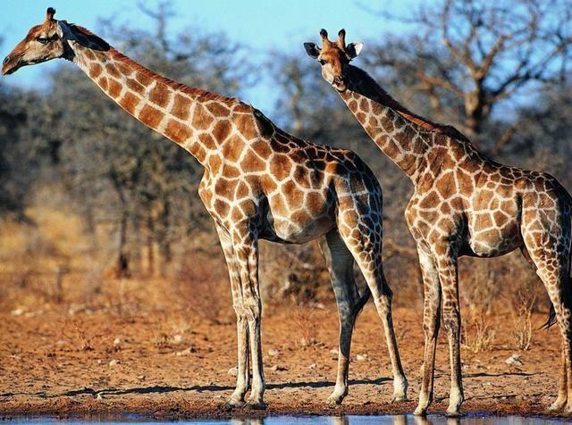 大型猫科动物,虎常单独活动,只有在繁殖季节雌雄才在一起生活