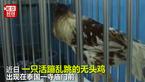 战斗鸡!泰国一只鸡被砍头后仍活蹦乱跳