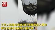 中国吃货坐不住了!美国捕获近5万条鲤鱼竟要活埋!
