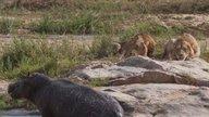 一河马难敌二狮子,勇猛的反击背后不知晓另一个危险的潜伏