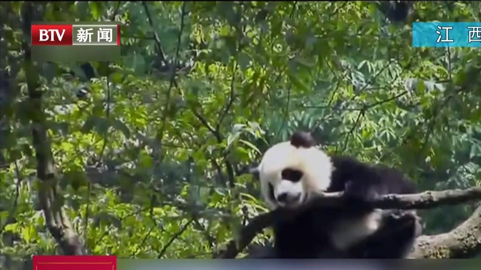 大熊猫首次在四川以外地区野化放归