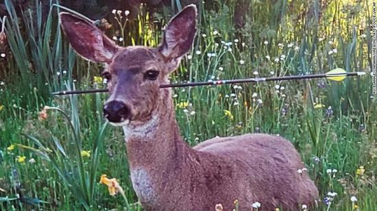 美国野生鹿头颈被利箭射穿 仍淡定吃草散步! - 周公乐 - xinhua8848 的博客